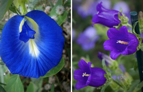 DNA azul das flores cunhã e campânula